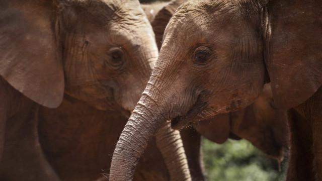 Autoridades moçambicanas têm formação para combater caça de elefantes