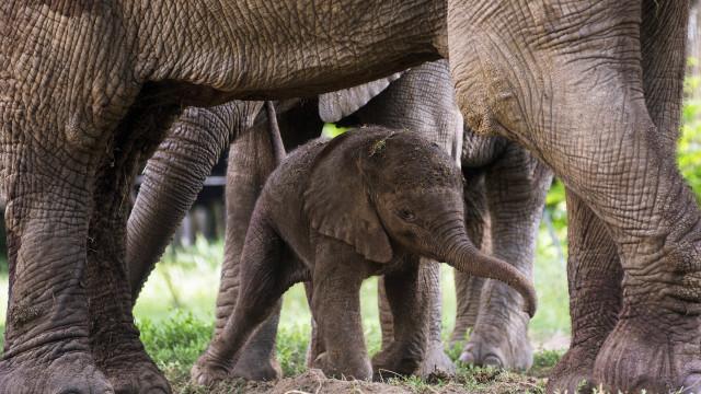 Maior reserva de Moçambique perdeu 16 mil elefantes em sete anos