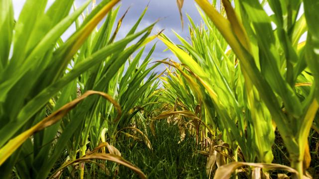 Moçambique aprova 4,9 milhões de euros para pesquisa de cultivo de milho