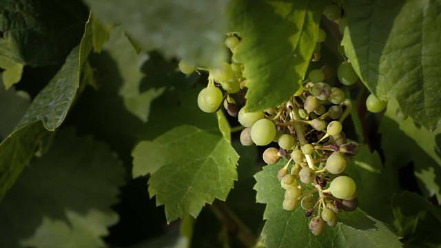 Jovens empreendedores apostam em vinhas velhas no Mogadouro