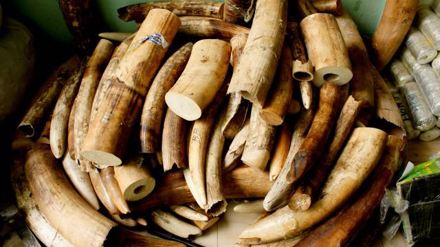 Ex-chefe dos serviços da Fauna Bravia detido por roubo de marfim