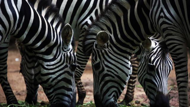 Aumento de tráfego provoca atropelamento de animais na Reserva de Maputo
