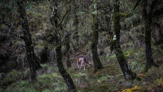 Investigadores do Porto concluem que veados ibéricos são únicos na Europa