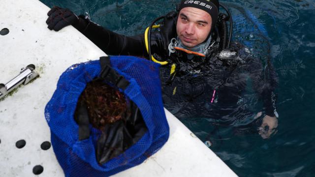Investigadores desenvolvem medicamentos a partir de algas invasoras