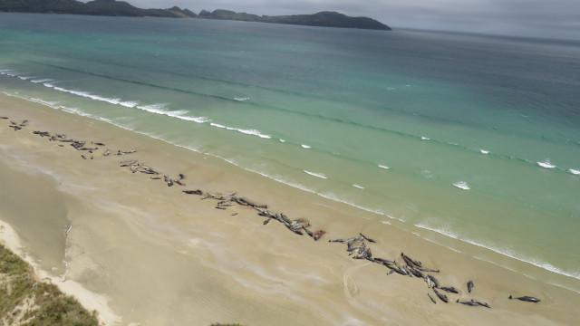 Quase 200 baleias morreram encalhadas na Nova Zelândia