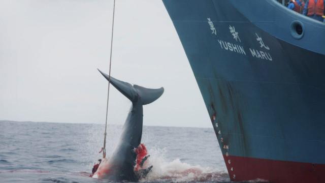 Japão sai da Comissão Baleeira Mundial e retoma pesca de baleias