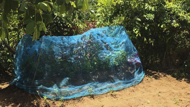 Redes mosquiteiras de combate à malária cobrem túmulos em Moçambique
