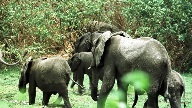 Morreram pelo menos 50 elefantes em Angola desde 2012
