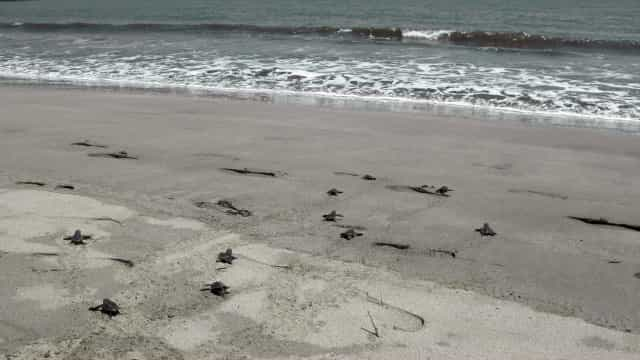 Mais de 109 mil ninhos de tartaruga na época de desova em Cabo Verde