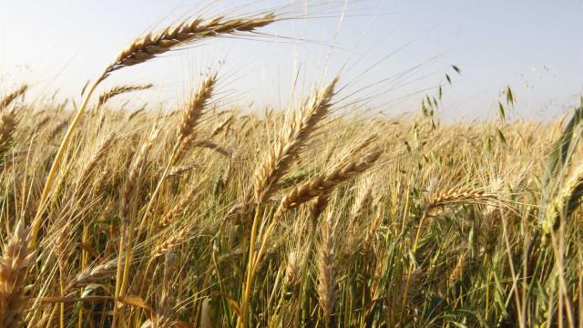 Produção de cereais afetada por seca, boas previsões para tomate e vinha