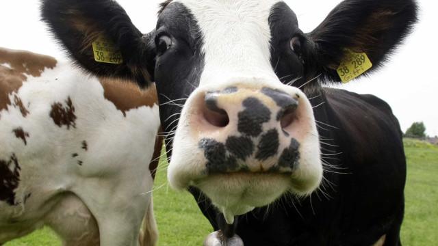 Era uma questão de tempo. Foi criado um 'Tinder' para vacas