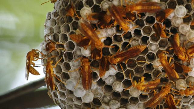 Ninhos e picadas de vespa asiática aumentaram em Montemor-o-Velho