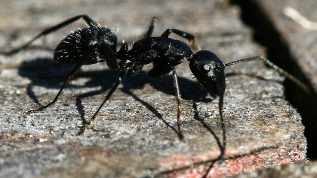 Resistência aos antibióticos: A solução pode estar nas formigas