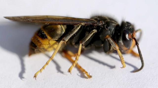 Verdes acusam Governo de dar informação deficitária sobre vespa asiática