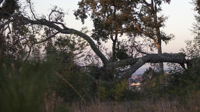 Sobreiros e indústria de cortiça imunes a incêndios florestais este ano