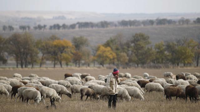 Açores importam uma centena de ovelhas para incrementar produção de leite
