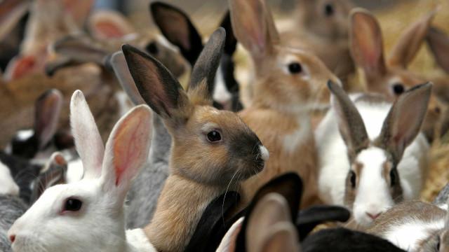 DGAV recolheu mais de mil coelhos mortos de exploração em Estarreja
