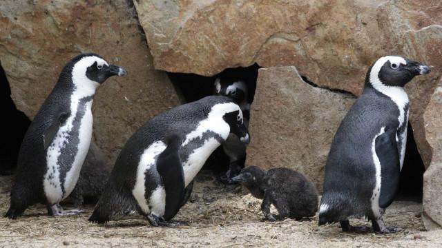 Dezenas de pinguins mortos depois de ataque de cães na Tasmânia