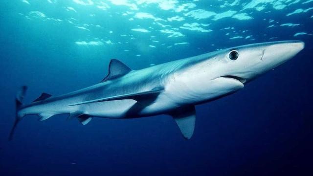 Tubarão azul causa pânico em praia de Maiorca