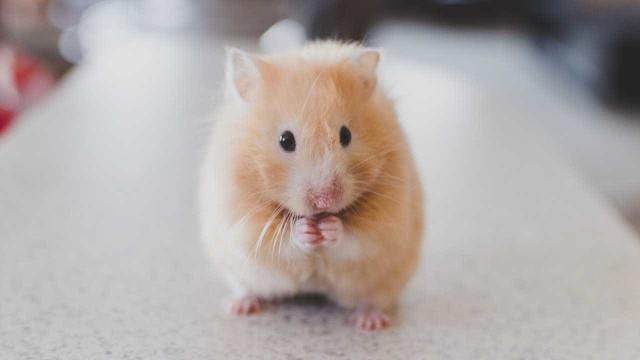 Leva hamster ao veterinário porque não se mexia. O motivo é hilariante
