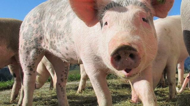 Selo Porco PT alcança 500 explorações e 400 pontos de venda