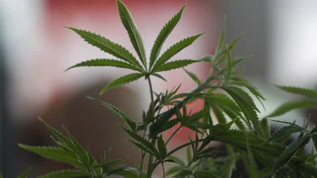 Bloco promove hoje audição pública sobre legalização da canábis