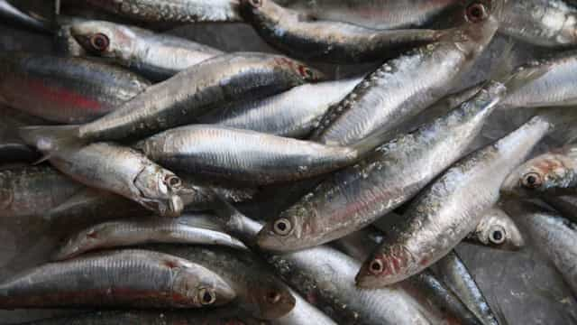 CDS-PP questiona ministra do Mar sobre evolução dos stocks de sardinha