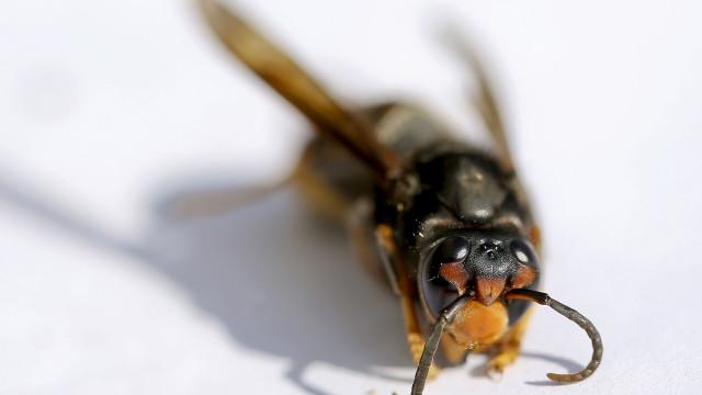 Bombeiros da Mealhada e Pampilhosa envolvidos no combate à vespa asiática