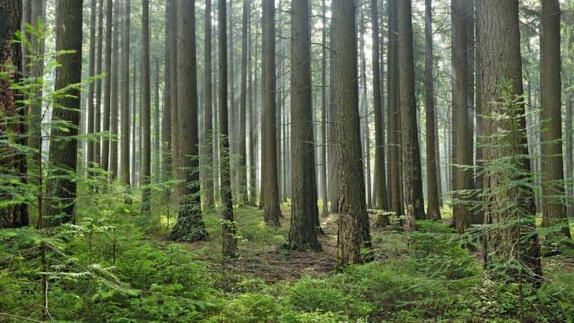 """Indústria papeleira contra reforma florestal: É """"atentado"""" à floresta"""