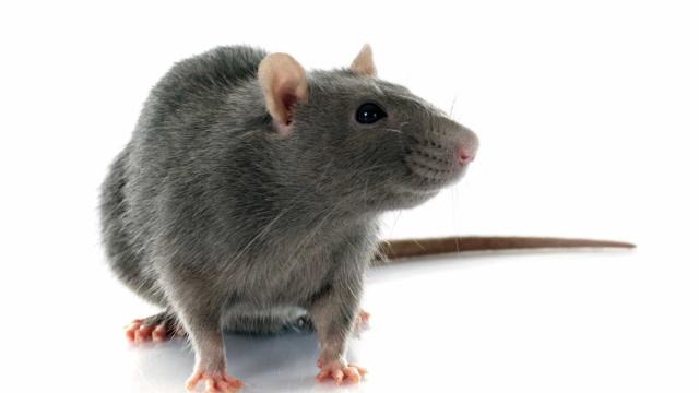 Menina internada com ferimentos graves depois de ser atacada por ratos