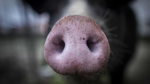 Governo abre mercado da carne de porco à Índia