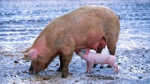 """China reconhece que surto de peste suína nacional é """"muito grave"""""""