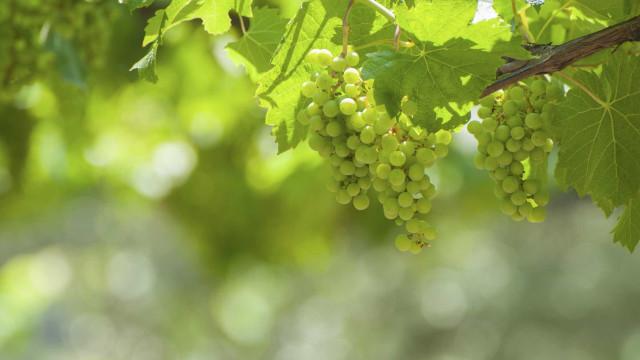 Portugal integra projeto sobre ameaças climáticas ao setor do vinho