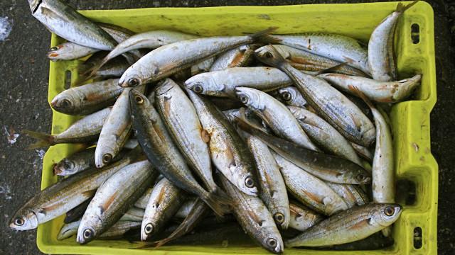 Pescadores contra parecer que recomenda suspensão da pesca da sardinha
