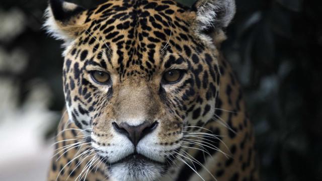Jaguar foge de jaula e mata seis animais no zoo de Nova Orleães