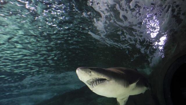 Quatro tubarões mortos após dois ataques a nadadoras na Austrália