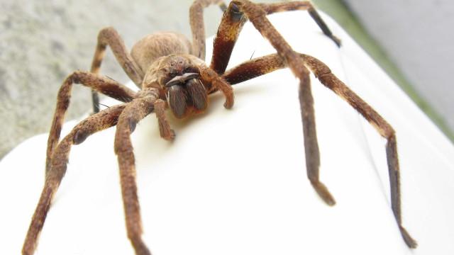 Polícia chamada a casa de homem que gritava por causa de... uma aranha