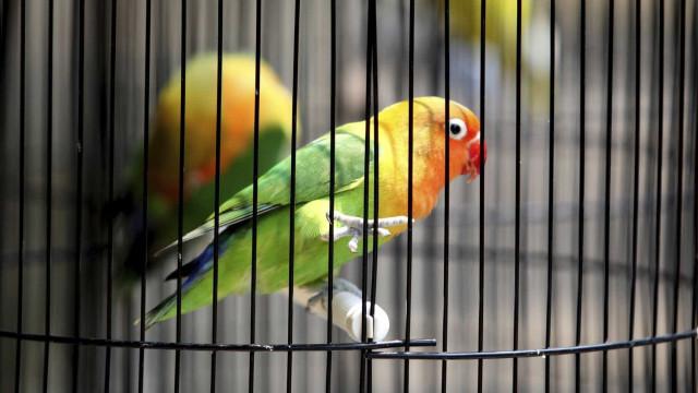 Homem identificado por ter em casa pintassilgos, araras e papagaios