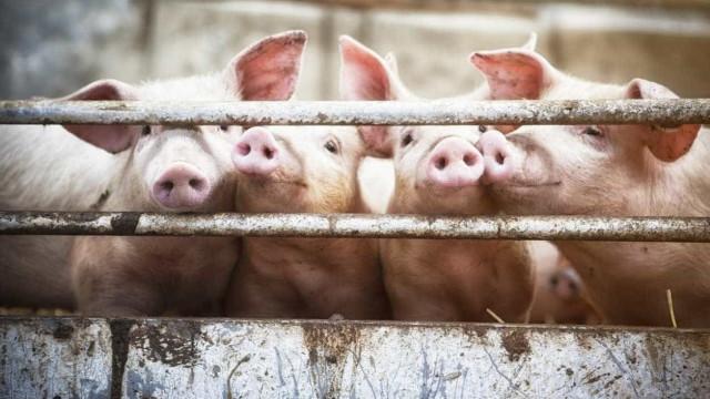 China deteta novo caso de peste suína à medida que doença se espalha