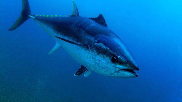 Atum-rabilho com 300 quilos apreendido e doado. Valia mais de 5 mil euros