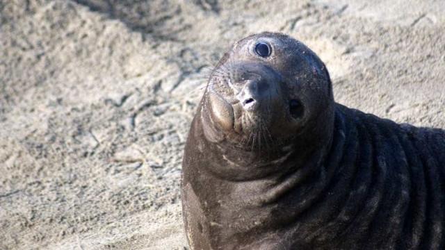 Juan deixou a América do Sul para apanhar focas angolanas