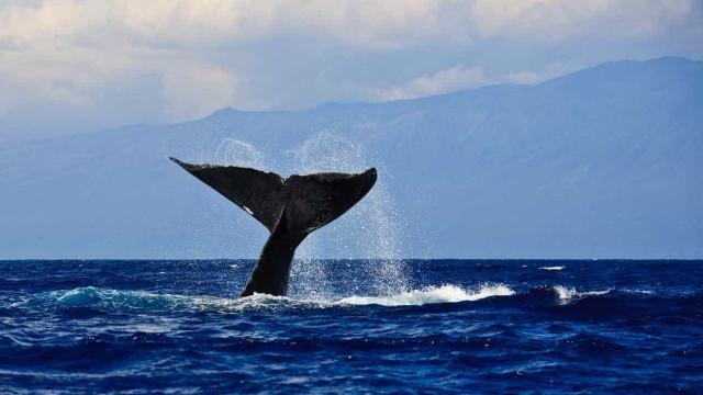Japoneses mataram 177 baleias no Pacífico este verão