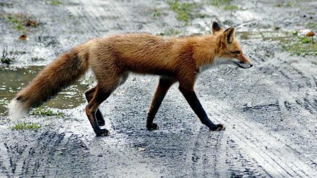 Ambientalistas tentam chegar a raposa doente em Tavira e fazem apelo