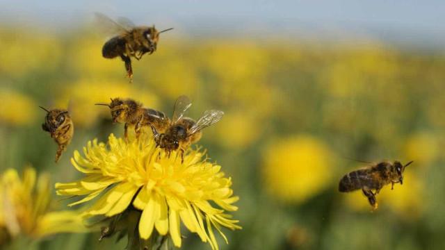 Investigadores estudam avaliação de risco para abelhas melíferas