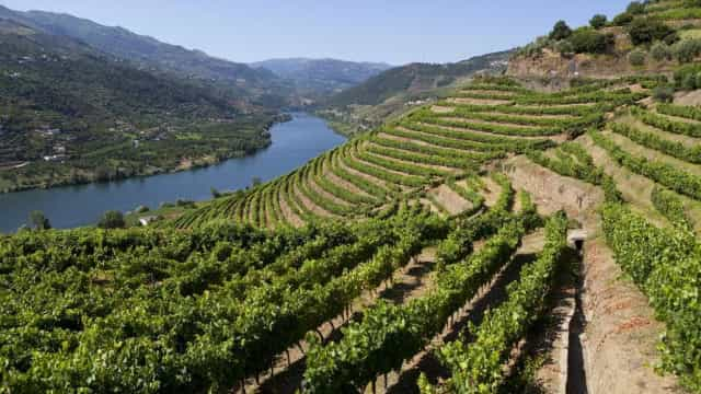 As vindimas no Douro também são para os turistas cortarem ou pisarem uvas
