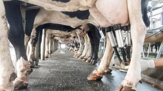 Incêndio em vacaria na Póvoa de Varzim mata 500 bovinos