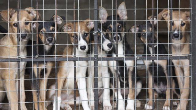 Surto de esgana obriga a abater 50 cães em canil do Alto Minho