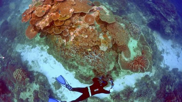Há 'oásis' de coral que ainda resistem à destruição generalizada