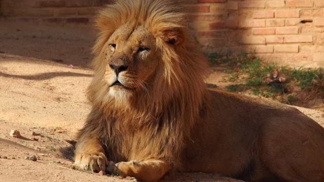 Leões atacam e devoram caçador na África do Sul