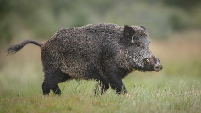 Milhares de polacos contra abate em massa de javalis